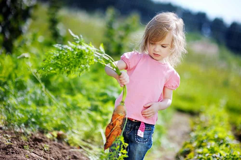 a little adventurous eater picking carrots in a garden
